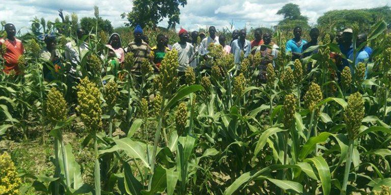 Farmers Field School on sorghum production